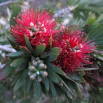 Pohutakawa blossom (The New Zealand Christmas Tree)