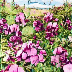 Pink Sweet Pea Flowers Summer